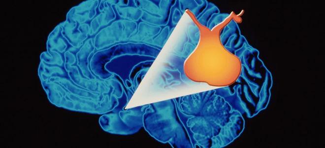 За что отвечают гормоны гипофиза в организме человека?