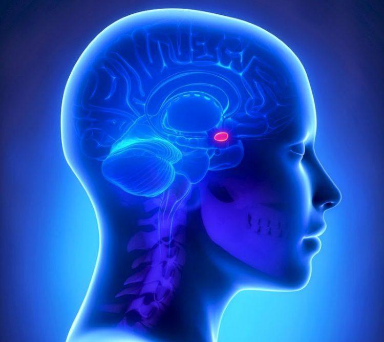 Гипофиз в мозге
