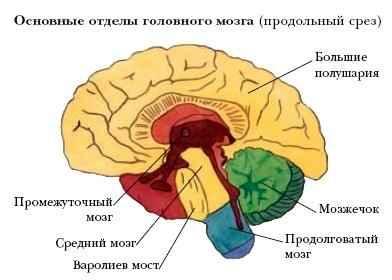 Какая часть мозга отвечает за сексуальную потребность