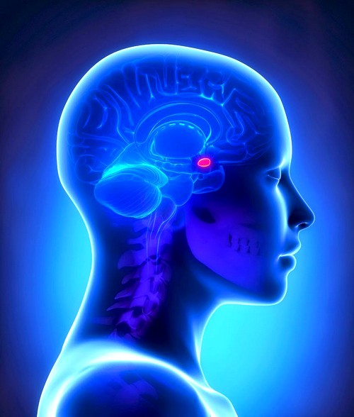 Гипофиз в головном мозге